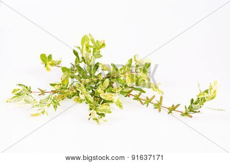 Willow tree branch isolated