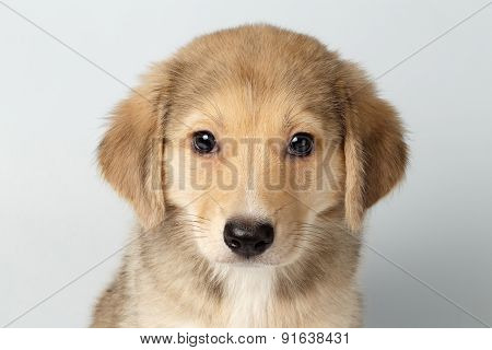 Closeup Mixed Breed Ginger Puppy Pity Looking Isolated On White