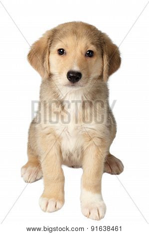 Mixed Breed Ginger Puppy Sits Isolated On White