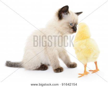 Chicken And Kitten