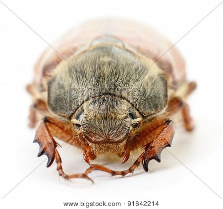 Chafer Isolated On White