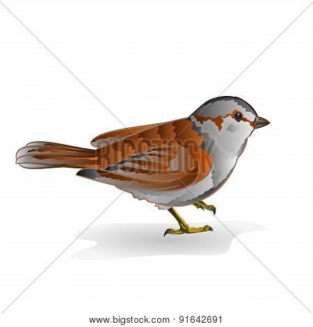 Little Bird Sparrow Vector