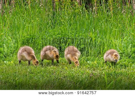 Line Of Four Goslings (branta Canadensis)