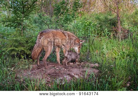 Adult Coyote (canis Latrans) And Pup Sniff About Densite