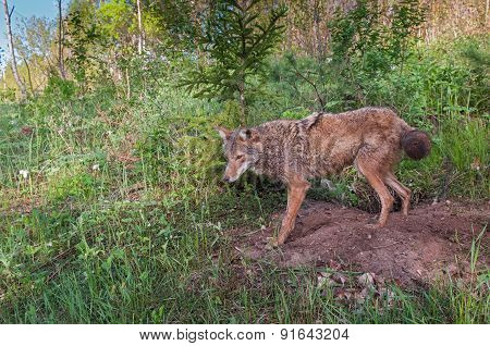 Adult Coyote (canis Latrans) Stands At Densite