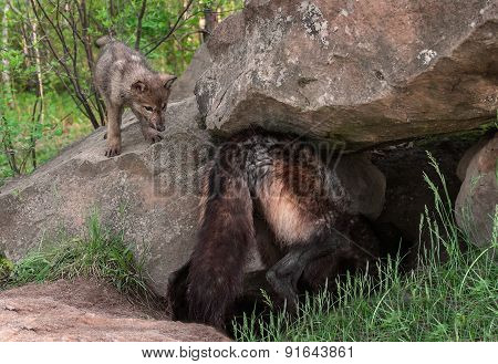 Grey Wolf Pup (canis Lupus) Watches Mother In Den