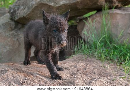 Black Wolf Pup (canis Lupus) Stands Outside Den Entrance