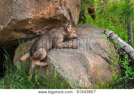 Grey Wolf Pup (canis Lupus) Clambers Up Rock