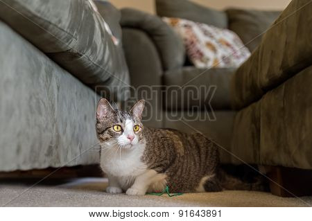 Domestic Cat Lies Between Couches