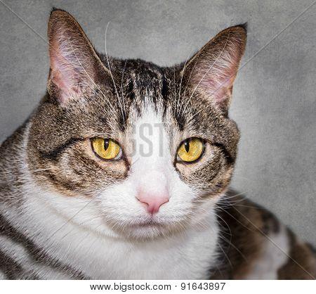 Closeup Domestic Cat