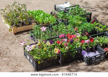 Sale Of Seedlings Of Ornamental Flowers On The Street
