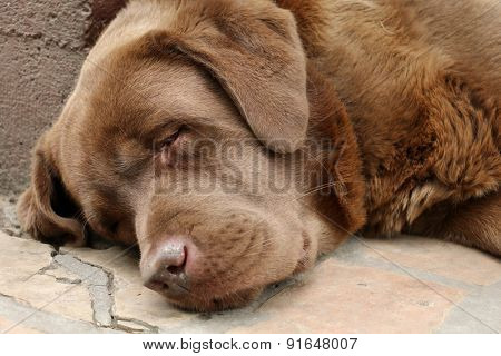 Brow Labrador sleeping