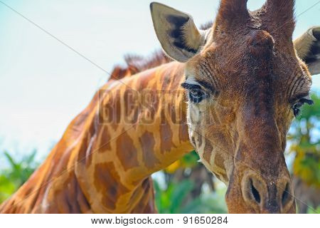 Giraffe Snout Close Up