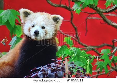 Red Panda Front View
