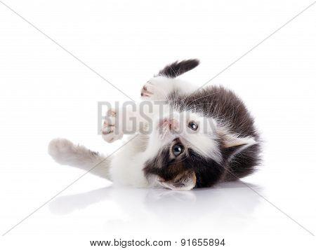 Lovely Spotty Domestic Kitten.