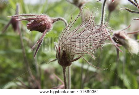 Prairie Smoke Flower