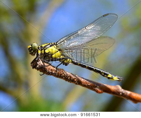 Dragonfly sitting on a twig