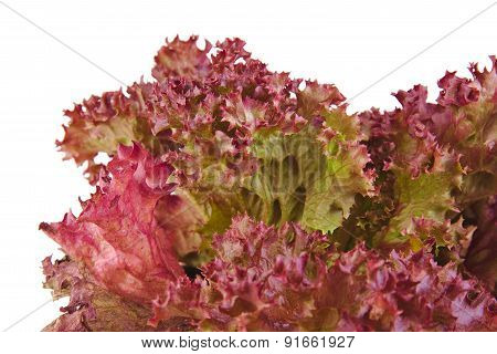 Closeup of an Oak Leaf lettuce isolated on a white background