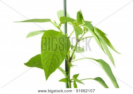 Closeup of green pepper plant leavess isolated on a white background