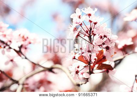 Plum blossoms over blurred nature background, close up