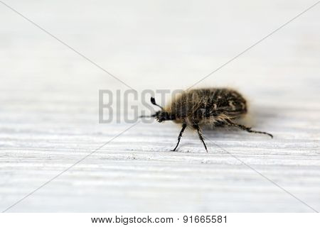 Chafer shaggy beetle on wooden background