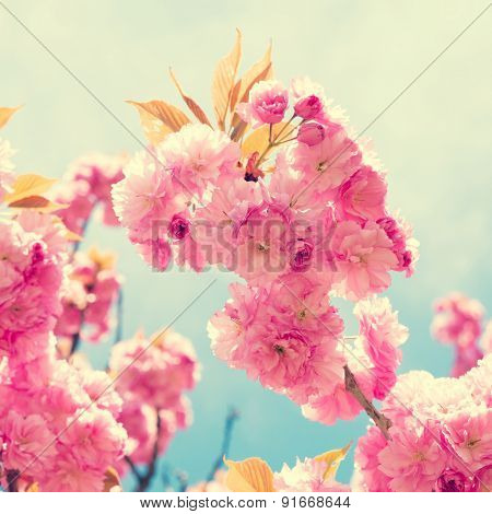 Sakura pink flower on spring sky background. Toned photo