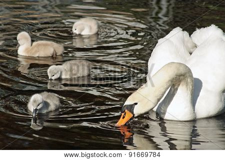Mute Swan with her young cygnets swimming and dipping their beaks in the water