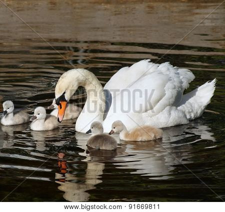Beautiful Mute Swan with her 5 young babies swimming together on calm waters