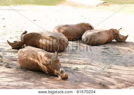 Four Rhinos Laying