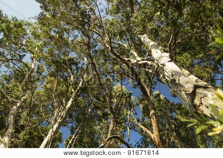 Looking Up Into A Forest Canopy