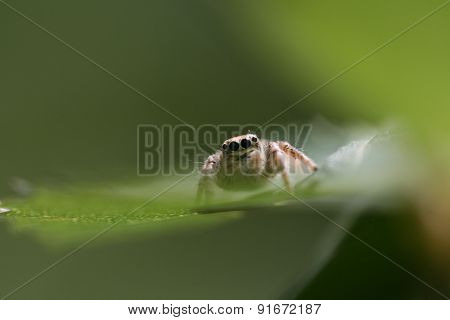 Jump spider feature