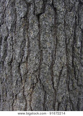 White Pine Trunk