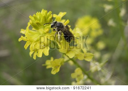 Winter Cress And Bee