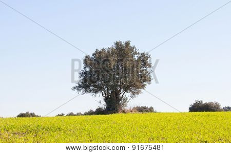 Beautiful spring meadow with tall grasses and oak in the background