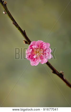 Spring flowering branches, pink flowers, , blossoms