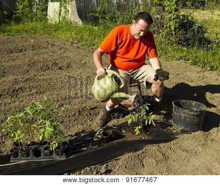 Organic Farmer Watering A Tomato Plant