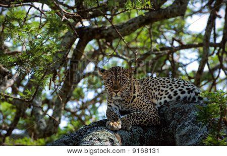 Leopard On A Tree.