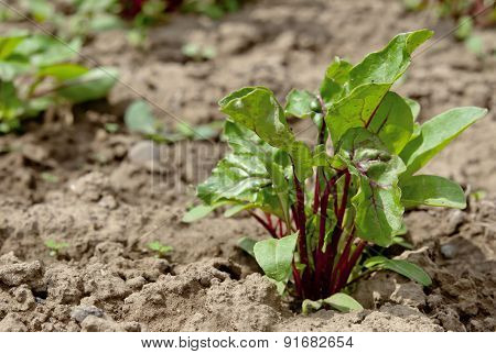 Young Plant Beet