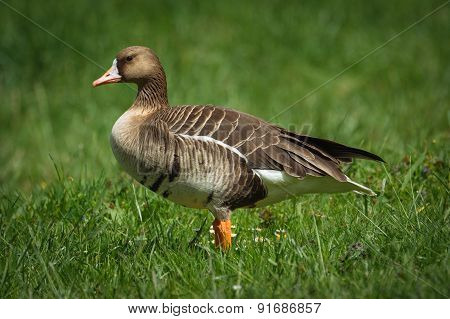 Greylag goose in the meadow