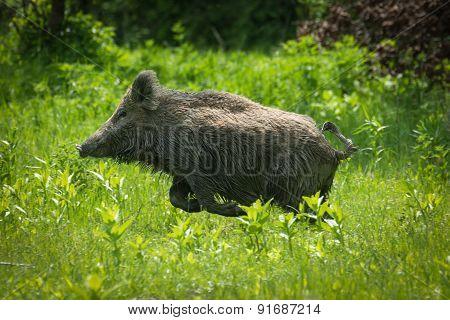 Wild boar running on meadow