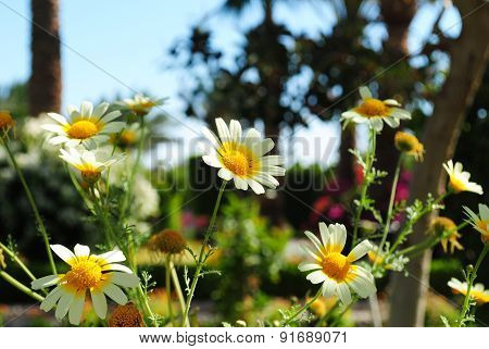White daisy flowers.White daisies.