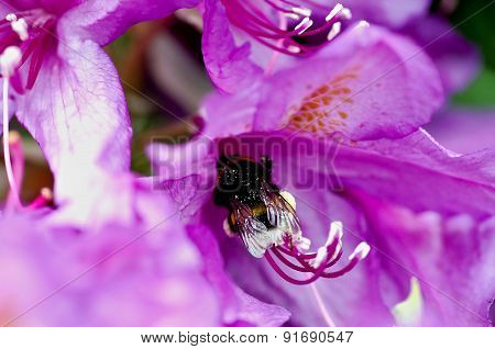 Macro Bumblebee On A Flower
