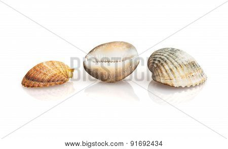 Three Beautiful Sea Shells With Reflection