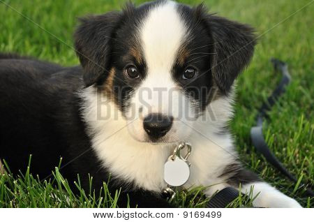 Australian Shepherd (aussie) Puppy