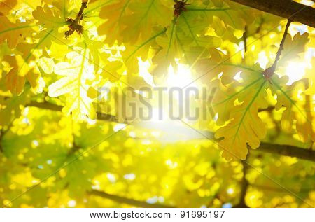 Nature background with backlit vivid yellow leaves