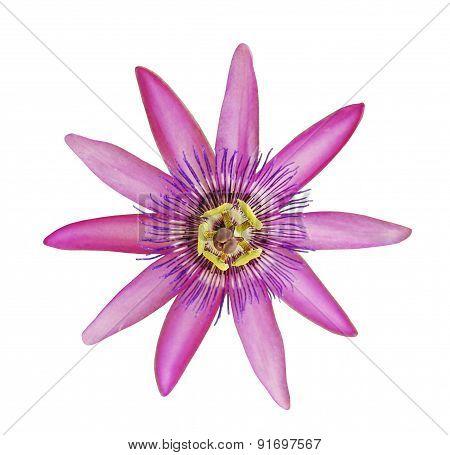 Passiflora Lavendar Lady