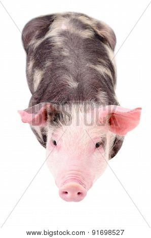 Little cute piggy, top view