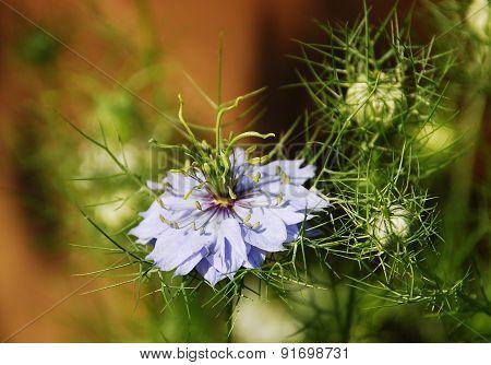 Blue Nigella Flower
