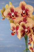 picture of yellow orchid  - Phalaenopsis yellow and red orchid flowers against blue blurred background - JPG