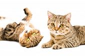 picture of scottish-fold  - Portrait of  cats Scottish Fold and Scottish Straight closeup isolated on white background - JPG